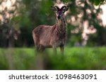 solitary red deer stag with... | Shutterstock . vector #1098463091
