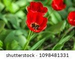 beautiful blossoming tulip...   Shutterstock . vector #1098481331