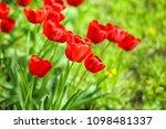 beautiful blossoming tulips... | Shutterstock . vector #1098481337