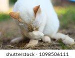 cute white cat  outdoors   Shutterstock . vector #1098506111