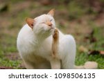 cute white cat  outdoors   Shutterstock . vector #1098506135