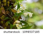 closeup wild white orchid on...   Shutterstock . vector #1098537185