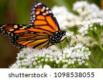 monarch butterfly on white... | Shutterstock . vector #1098538055