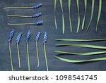 muscari flowers on the dark... | Shutterstock . vector #1098541745