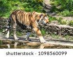 siberian amur tiger in the zoo  ... | Shutterstock . vector #1098560099