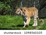 siberian amur tiger in the zoo  ... | Shutterstock . vector #1098560105