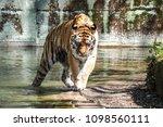 siberian amur tiger in the zoo  ... | Shutterstock . vector #1098560111