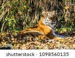 siberian amur tiger in the zoo  ... | Shutterstock . vector #1098560135