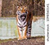 siberian amur tiger in the zoo  ... | Shutterstock . vector #1098560141