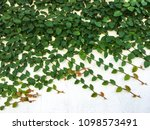 coatbuttons  mexican daisy on...   Shutterstock . vector #1098573491