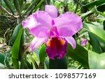 purple orchid in the flower farm   Shutterstock . vector #1098577169