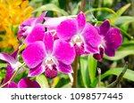 purple orchid in the flower farm   Shutterstock . vector #1098577445