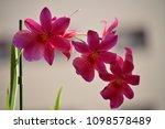 orchid dendrobium berry oda...   Shutterstock . vector #1098578489