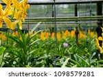 yellow orchid in the flower farm   Shutterstock . vector #1098579281