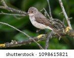 musciapa striata flycatcher... | Shutterstock . vector #1098615821