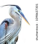 closeup of a beautiful great... | Shutterstock . vector #1098637301