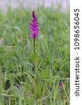 flower of dactylorhiza majalis  ...   Shutterstock . vector #1098656045