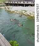 Geese And Carp At The Dock