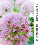 Small photo of a macro closeup of a pink purple cluster flowers of common Allium cepa onion isolated on white