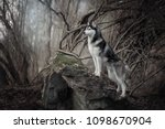 Beautiful Siberian Husky In...