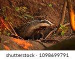 european badger  meles meles | Shutterstock . vector #1098699791