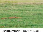 a black footed ferret hunting...   Shutterstock . vector #1098718601