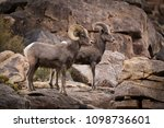 a male  ram  and female  ewe ... | Shutterstock . vector #1098736601