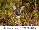 Small photo of Whitetail doe in Cades Cove Smoky Mountain Tennessee