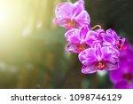 orchid flower in garden close...   Shutterstock . vector #1098746129