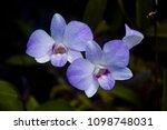 violet orchid flower   Shutterstock . vector #1098748031