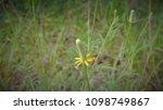 Texas Yellow Star Wildflower I...