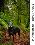 Small photo of Black and tan Doberman Pinscher dog outdoor portrait with croopped ears standing in forest