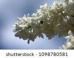 lilac flower white | Shutterstock . vector #1098780581
