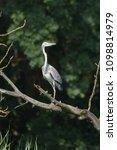 grey heron  ardea cinerea       ... | Shutterstock . vector #1098814979