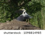 grey heron  ardea cinerea       ... | Shutterstock . vector #1098814985