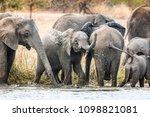 elephants herd in river in... | Shutterstock . vector #1098821081