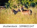 waterbuck antelope in liwonde n.... | Shutterstock . vector #1098821147
