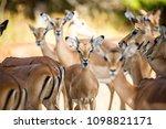 impalas herd in liwonde n.p.  ... | Shutterstock . vector #1098821171