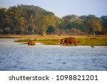 hippopotamus  hippos  in... | Shutterstock . vector #1098821201