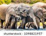elephants herd in river in... | Shutterstock . vector #1098821957