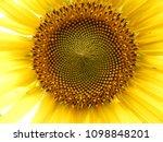 Common Sunflower Closeup