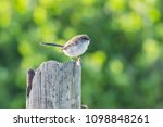 male variegated fairy wren in... | Shutterstock . vector #1098848261