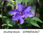 close up of of lilac clematis... | Shutterstock . vector #1098856367