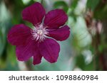 close up of of pink clematis... | Shutterstock . vector #1098860984