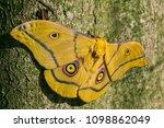 moth   nudaurelia krucki  large ... | Shutterstock . vector #1098862049