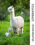 white alpaca with offspring ...   Shutterstock . vector #1098869531
