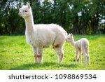 white alpaca with offspring ... | Shutterstock . vector #1098869534