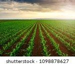 Green Corn Maize Plants On A...