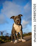 Small photo of American Pit Bull Terrier puppy dog standing with blue sky