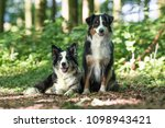 two australian shepherd dogs | Shutterstock . vector #1098943421